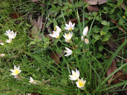 Small white wildflowers. Early spring. (Image: ©copyrighted, all rights reserved, NO permissions granted)