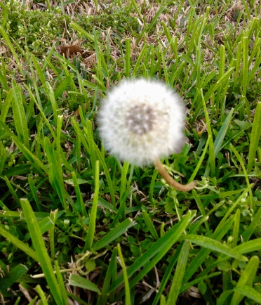 White wildflower. Dandelion puff. (© Image: all rights reserved, copyrighted, no permissions granted)