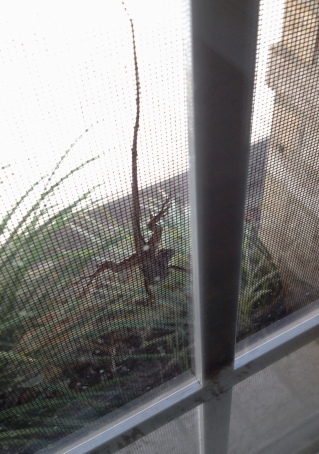 lizard on window screen (© Image - all rights reserved, copyrighted, NO permissions granted)