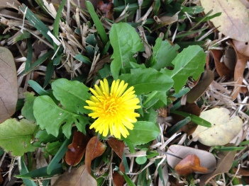 yellow wildflower. Dandelion. (© Image copyrighted, no permissions granted, ALL rights reserved)