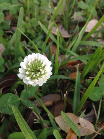 White flower clover. (Image: © all rights reserved, NO permissions given. Copyrighted)
