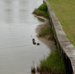 Local ducks in a row...sort of. (© Image: all rights reserved, NO permissions granted, Copyrighted)