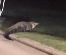 Massive Pearland gator headed to the golf course (Bradley Durrett/abc13 news)