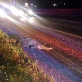 12 foot gator refusing to get off the roadway, HWY 59 near Cleveland. (Image: Chance Ward)