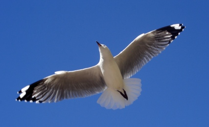 Wings outspread in a clear blues sky. Red-billed Seagull. (PD released by Danga/Daniel Gammert/WIki/Commons.wikimedia.org)