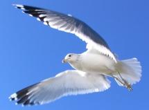 Bodega Bay California Gull (PD released by Valoyspoeri/Commons.wikimedia.org)