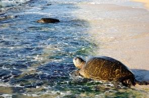 Green Sea Turtles in surf at beach. Papailoa Bea Hawaii (Daniel Ramirez/Commons.wikimedia.org)