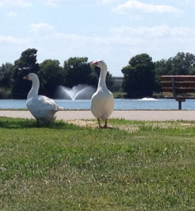 geese at duck pond. (© Image: copyrighted, all rights returned, NO permissions granted)