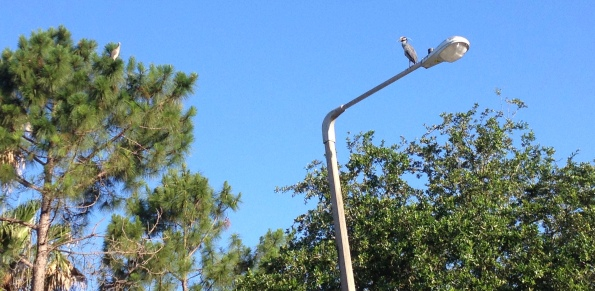 Birds on holiday. Guy checking out the streetlight balcony for their pine tree suite where is lady friend lingers.(© Image. ALL rights reserved, copyrighted, NO permissions granted)