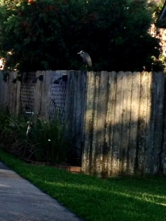 Bird perched on fence at dusk. (© Image All rights reserved, NO permissions granted, Copyrighted)