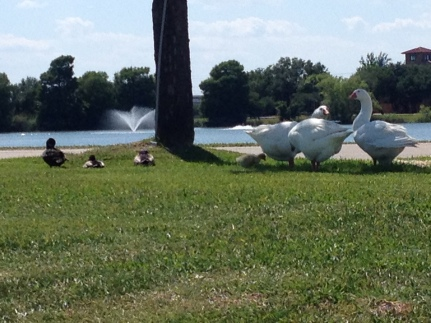 3 geese and gosling. (© Image: copyrighted, no permissions granted, all rights reserved)
