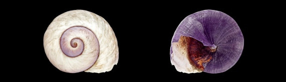 Sea shells from common purple sea snail. (H.Zell/Commons.wikimedia.org)