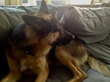 German shepherd Scooby looking backwards on couch. (© Image: copyrighted. No permissions granted, ALL rights reserved)