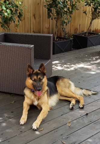 Large fuzzy German Shepherd relaxing on deck. (© Image: all rights reserved, copyrighted, NO permissions granted)