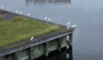 birds waiting on bulkhead and boardwalk (© Image. ALL rights reserved, copyrighted, NO permissions granted)