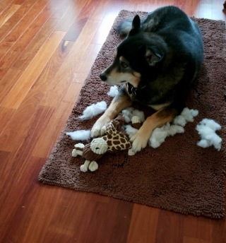 Dog with chewed up toy and stuffing everywhere(© image, ALL rights reserved copyrighted, NO permissions granted) image, ALL rights reserved copyrighted, NO permissions granted)