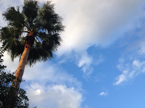 Fan palm against blue sky and clouds (© Image: All rights reserved, NO permissions granted, Copyrighted)