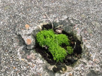 plant. mossy island appears in sidewalk depression. (© Image, all rights reserved copyrighted, no permissions granted)