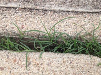 Plants sticking out of sidewalk crack (© Image: all rights reserved, no permissions granted, copyrighted)