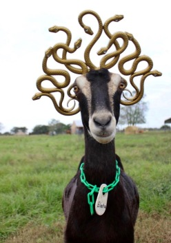 Goat in costume as Medusa. Medusa crowned goat. (Blue Heron Farms, TX. FB)