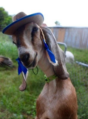 Costumed goat with cute hat with braids. (Blue Heron Farms, TX. FB)
