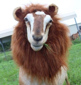 goat in lion costume (Blue Heron Farms, TX)