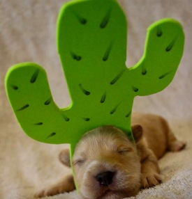 Puppy dressed as prickly pear cactus (Blue Heron farms, TX)
