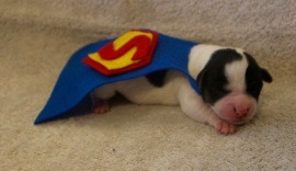 Super puppy! (Saving the world is exhsusting) (Blue Heron Farms, TX
