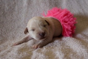 Puppy dressed as tiny ballet dancer. (Blue Heron Farms, TX)