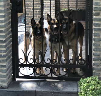 German shepherds 3 at the gate (© Image: all rights reserved, copyrighted, no permissions granted)