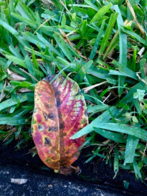 A thoughtful mob is their spirited choice. Practicing by embracing an aging Autumn leaf. Their selected personal not to unexpected as this is St. Augustine grass. (© image All rights reserved, copyrighted, no permissions granted)