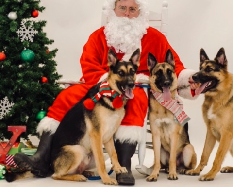 Three German Shepherds dressed for picture with Santa (© image: copyrighted, all rights reserved, no permissions granted)
