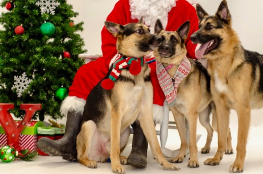 three German Shepherds posed with Santa, (© image, all rights reserved, copyrighted, NO permissions granted)