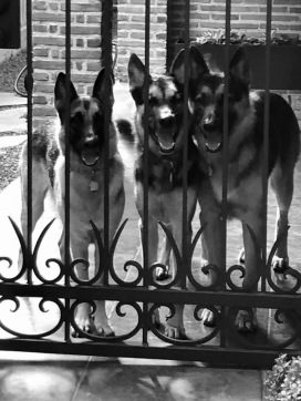 Dogs at gate. German Shepherds. (© image: All rights reserved, copyrighted, NO permissions granted)