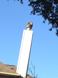 Two hawks on chimney (© image: copyrighted, no permissions granted, all rights reserved)