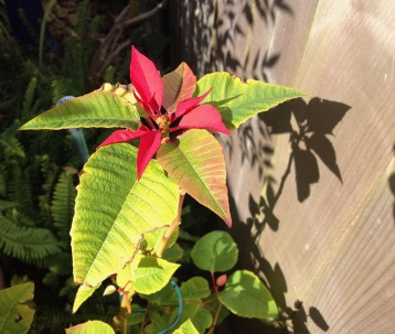flower. plant. Poinsettia by fence. (© image all rights reserved, copyrighted, no permissions granted)