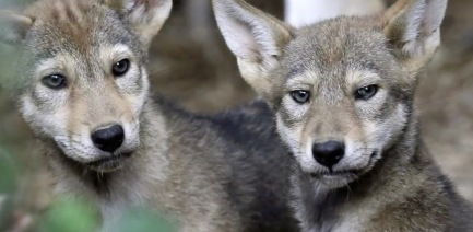 Young red wolf pups (ABC 13 Dallas screenshot)