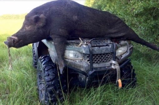 Very large wild hog draped across vehicle (Click2Houston/M.Bolen?)
