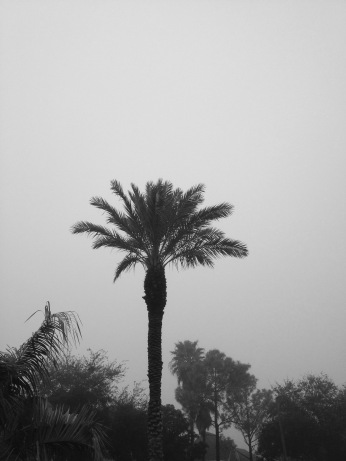 foggy skies and palm tree. (© image: all rights reserved, copyrighted, NO permissions granted)