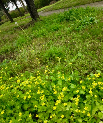 Flowers. Early spring weeds and clover. (© image: all rights reserved, copyrighted, no permissions granted)