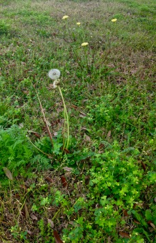 Flower Wild flower dandelion puff among spring weeds (© image: copyrighted, all rights reserved, NO permissions granted)
