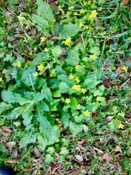 Flowers. Yellow clover flowers among spring weeds. (© image: copyrighted, all rights reserved, NO permissions granted)