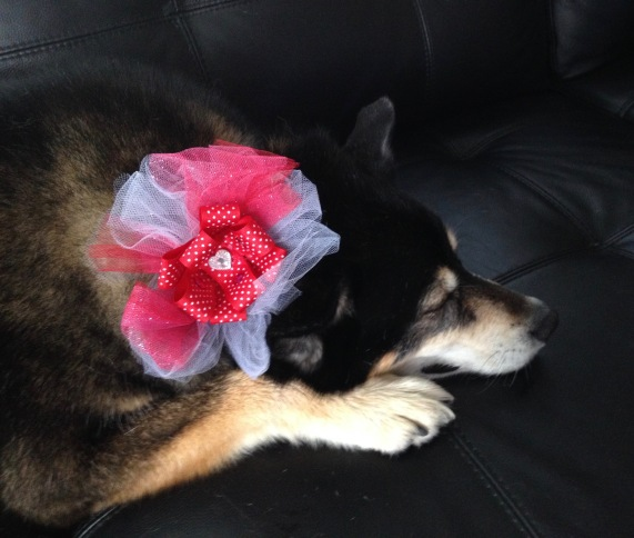 Tired dog with Valentine corsage on black couch. (© image. All rights reserved, Copyrighted, No permissions granted )