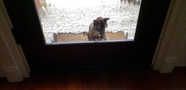 Cat Niala looking through front door. (© image, all rights reserved, copyrighted, no permissions granted)