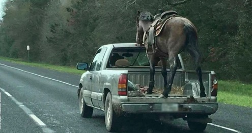 Horse braced for ride in back of pickup. (Image: Kerry Green Costello FB)
