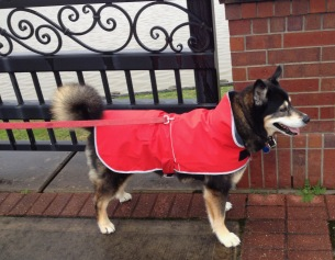 Dog in red raincoat. (© image, all rights reserved, copyrighted, no permissions granted)