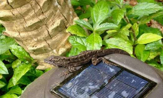 Small lizard sunning himself on solar cell (© image: copyrighted, all rights reserved, NO permissions granted)