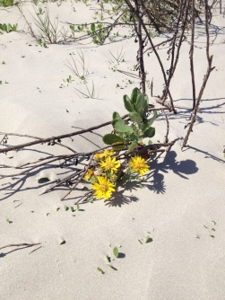 yellow wild flowers in sandy dunes of Galveston's East Beach ( image all rights reserved, copyrighted, no permissions granted))
