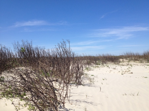 Beach plants in the sandy dunes. Galveston East Beach (© image: all rights reserved, copyrighted, no permission granted)