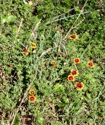 flowers in the dunes of East Beach Galveston. Wild flowers: Firewheels (© image: copyrighted, all rights reserved, NO permissions granted )